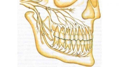 Нервные пучки в челюстях