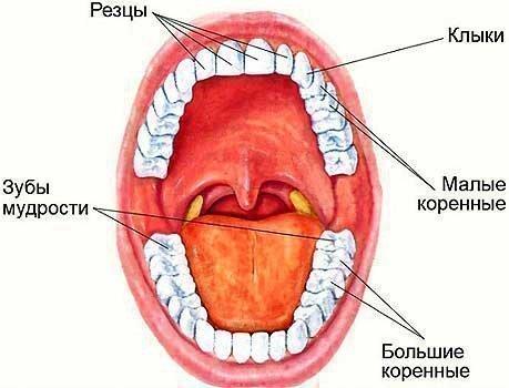 Зубной ряд человека с названиями зубов